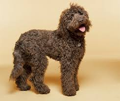 labradoodle dog breed information pictures characteristics