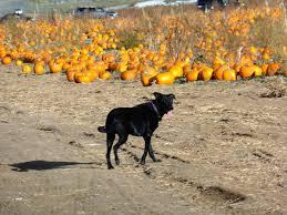Canon City Pumpkin Patch by The Pumpkin Patch At Rock Creek Farm U2013 Colorado Traveling Ducks
