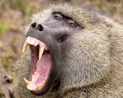 Parts Of Africa The Olive Baboon Lives In Savannas North Central Guinea Is Found West And Hamadryas