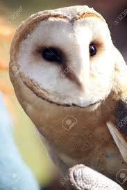 Pretty Barn-owl With Black Eyes And White Face Stock Photo ... Pottery Barn Living Room Pictures Pottery Barn Living Room A Pretty In Pink Knock Off Bed The Reveal Bedside Table New Interior Ideas 262 Best Images On Pinterest Ceramics Decorative Barnowl With Black Eyes And White Face Stock Photo Bedroom Marvelous Teen Store Leather Walkway Lighting Part Modern Ranch Style Houses Striped Rug With Kids Rooms Window Treatment Style Download Decorating Astana Wonderful Outdoor Costumes Mirror Stunning Cabinet Tv Cover Stylish