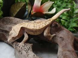 Crested Gecko Shed Box by Crested Gecko Care Sheet
