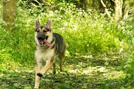 Dogs That Shed Very Little by 10 Fastest Dog Breeds Care Com Community