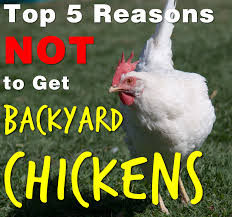 Five Reasons Why Owning Backyard Chickens Is For The Birds Cheap Raising Ducks For Eggs Find Deals On The Chicken Chick 11 Tips For Predatorproofing Chickens 1064 Best Images Pinterest Chickens In The South Southern Living Keeping Ultimate Beginners Guide Australian Inrested Your Backyard Home Life How To Chickenproof Garden Modern Farmer Coop Yard Design 7 Coops 6760 Homestead Critters Landscape Gardening With 343 Other Farm Eggs