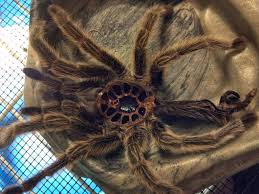 Do Tarantulas Shed Their Legs by Trigger Apparently Spiders Can Shed Their Skin Trypophobia
