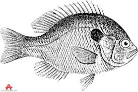 Fish Vintage Drawing Clipart
