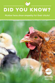 25 Best Sussex Chickens Images On Pinterest   Backyard Chickens ... Backyard Chickens 101 The Moms Guide To San Diego Amazoncom Complete Beginners Lauren Diamant Are Hard Workers In Our Bnyard Every Animal We Raise Renew Pinterest Flock Has A Complex Social Hierarchy With Singular Leader Raising For Dummies Modern Farmer Sister Chicks Club House Backyard Home Cluck Central Cedar Falls Iowa Public Radio 2015 Fact Sheet Chicken Egg 141 Best Images On