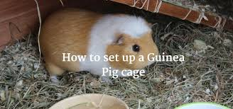 Pine Bedding For Guinea Pigs by How To Set Up A Guinea Pig Cage Exoticdirect
