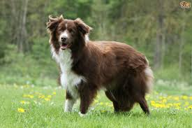 Red White Irish Setter Shedding by Border Collie Dog Breed Information Buying Advice Photos And