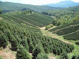 Christmas Tree Farms In Boone Nc by Cool Springs Nursery