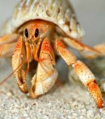 Do Hermit Crabs Shed Their Whole Body by Bernard L U0027ermite Hermit Crab In Glass Shell Nature Pinterest