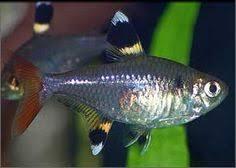 poisson eau douce aquarium tropical poisson crayon doré poisson d aquarium d eau douce originaire
