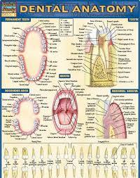 Dental Anatomy Uhmxqeqqbhubmnrngvwexjcutwa C Coloring Book Free Download With Stream Of