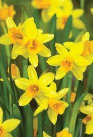 100 x narcissus tete a tete flowering rockery