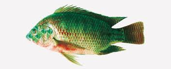 Biometric Characteristics And Some Biological Features Of Natural Hybrids Between Nile Tilapia Oreochromis Niloticus Blue Aureus In