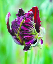 best imports of ornamental plants world parrot tulip bulbs