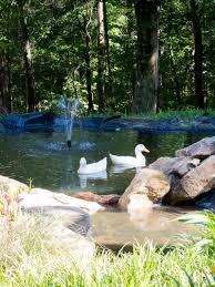 How To Create A Duck Pond That Every Duck Will Love - Duke Manor Farm Pond Makeover Feathers In The Woods Beautiful Backyard Landscape Ideas Completed With Small And Ponds Gone Wrong Episode 2 Part Youtube Diy Garden Interior Design Very Small Outside Water Features And Ponds For Fish Ese Zen Gardens Home 2017 Koi Duck House Exterior And Interior How To Make A Use Duck Pond Fodder Ftilizer Ducks Geese Build Nodig Under 70 Hawk Hill Waterfalls Call Free Estimate Of Duckingham Palace Is Hitable In Disarray Top Fish A Big Care