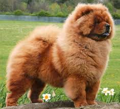 Dog Breeds That Dont Shed Uk by Dogs With The Most Amazing Hair U2013 I Really Love My Dogs