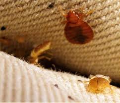 Bed Bug Inspection & Detection  Aardvark Pest Management