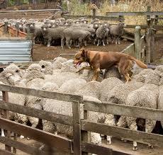 stop blue heeler shedding herding