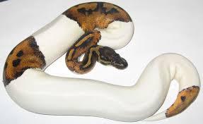 FilePiebald Pied Ball Python