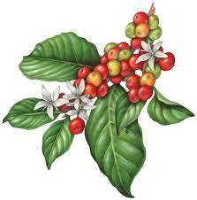 Coffee Plant Flowers Berries Fruit Copy