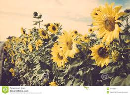 Yellow Flower Sunflower Meadow Field Vintage Retro Stock Photography