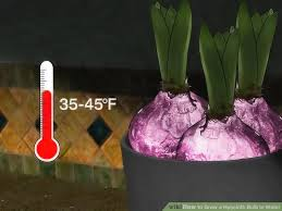 how to grow a hyacinth bulb in water 9 steps with pictures