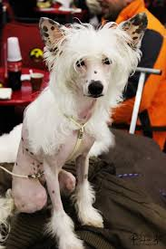 Do Hypoallergenic Dogs Still Shed by 10 Hypoallergenic Dog Breeds For Sensitive People U2013 I Really Love