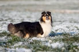 shetland sheepdog dog breed information pictures characteristics