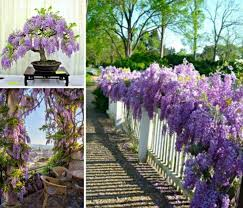 planting wisteria in a pot grow wisteria in a pot the easy tutorial wisteria