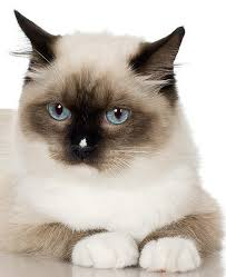 Non Shedding Cat Breeds Breeds Cats Don t Shed Much House Cats