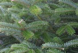 Fraser Fir Christmas Trees Delivered by Which Variety Dinmore Hill Christmas Trees