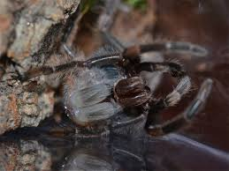 Do Tarantulas Molt Upside Down by March 2012 Things Biological Page 2