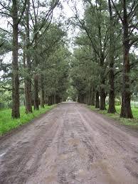 100 Casuarinas Casuarina Hardy Tree