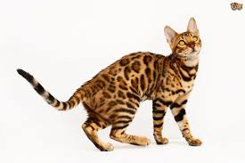 Dogs That Shed Minimally by Is It True Bengal Cats Shed Less Than Other Cats Pets4homes