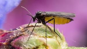 trauermücken in zimmerpflanzen bekämpfen gartengeheimnis at