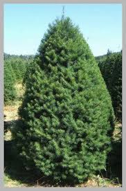 Douglas Fir Christmas Tree Images Unique Types Available At Big Wave Dave S