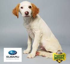 Do Brittany Spaniels Shed Hair by Puppy Bowl X Sees Top Dog Brittany Spaniel Loren Score Four