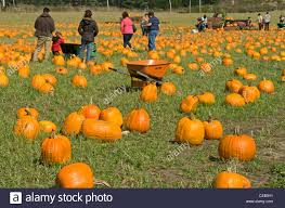 Faulkner Pumpkin Patch by Pumpkin Patches Stock Photos U0026 Pumpkin Patches Stock Images Alamy