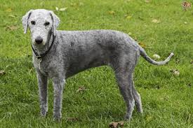 Why Is My Italian Greyhound Shedding by Bedlington Terrier Dog Breed Information Buying Advice Photos