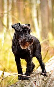 Do Giant Schnauzer Dogs Shed Hair by The Miniature Schnauzer Dog Breed A Complete Guide