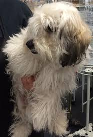 Do Redbone Coonhounds Shed by Los Angeles Ca Maltese Meet Junior I Do Not Shed A Dog For