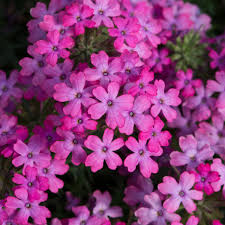 Purple Lilac New Hampshire Garden Solutions