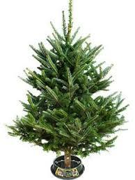 Frasier Christmas Tree Cutting by Christmas Tree Fresh Rainforest Islands Ferry
