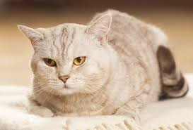 Excessive Hair Shedding In Cats by Cat Dandruff Causes And Treatment Pets4homes