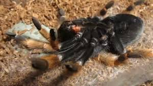 Do Tarantulas Shed Their Legs by Brachypelma Boehmei Turns On Its Back Molting Youtube