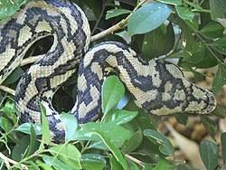 Coastal Carpet Python Facts by Billabong Sanctuary Australian Native Wildlife Park Townsville