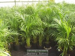 golden palm in pots golden palm dypsis lutescens 200mm budget wholesale nursery