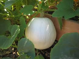 Types Of Pumpkins And Squash by Winter Squash And Pumpkin Update Susan U0027s In The Garden