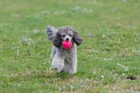 What Dog Sheds The Most by 10 Fancy Facts About Poodles Mental Floss